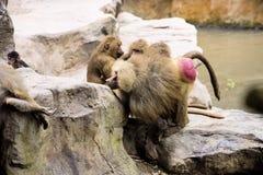 Group hamadryas baboon Papio hamadryas Royalty Free Stock Photography