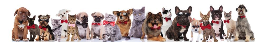 Group of happy cats and dogs wearing bowties. While standing, sitting and lying on white background royalty free stock images