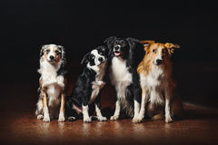 Group of happy dogs border collies Stock Photos