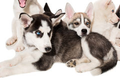 Group of happy siberian husky puppies on white Royalty Free Stock Photo
