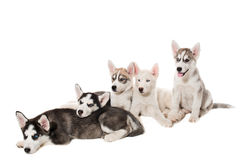 Group of happy siberian husky puppies on white Stock Photo