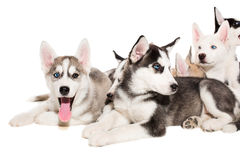 Group of happy siberian husky puppies on white Royalty Free Stock Images