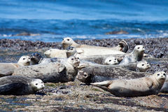 A group of harbor seals. Every member of the group takes a second to look at the camera during their mid morning nap Royalty Free Stock Photo