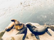 Group of Harbor Seals in Monterey Bay, California stock photography