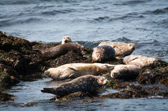 Group of harbor seals on rocks Royalty Free Stock Image