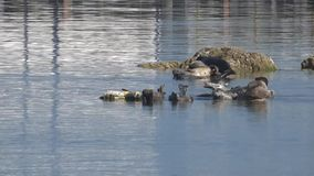 Fight between two seals: Harbor seals assembled in a small group on small rocks. A group of harbor seals sunbathing and resting on rocks. One seal rearranges his stock video