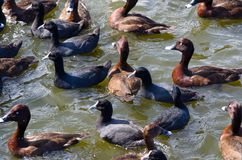 The group of Hardhead or White-eyed duck and coot birds swimming in the pond at Centennial Park, Sydney, Australia. A group of Hardhead or White-eyed duck and stock photos