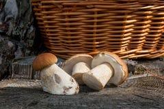 Group of harvested porcini mushrooms Boletus edulis, porcino or Stock Image