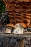 Group of harvested porcini mushrooms Boletus edulis, porcino or Royalty Free Stock Photography