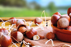 Group of  hazelnuts on a wooden table in field front view Royalty Free Stock Photo