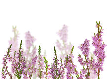 Group of heather blossoms isolated on white Royalty Free Stock Images