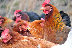 Group of hens Stock Photos