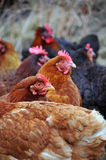 Group of hens Royalty Free Stock Images