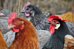 Group of hens Royalty Free Stock Image