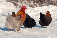 A group of hens of the breed Hedemora, out on days of snow and cold. The breed is a very old hardy breed in Sweden. The breed has double springs on each pen royalty free stock photos