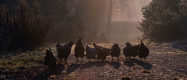 A group of hens, an early morning in autumn royalty free stock image