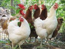 Group of hens with rooster Royalty Free Stock Photo