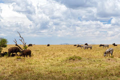 Group of herbivore animals in savannah at africa. Animal, nature and wildlife concept - group of different herbivore animals in maasai mara national reserve Royalty Free Stock Image
