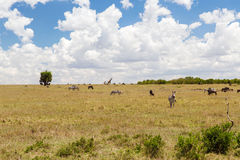 Group of herbivore animals in savannah at africa. Animal, nature and wildlife concept - group of different herbivore animals in maasai mara national reserve Stock Photos