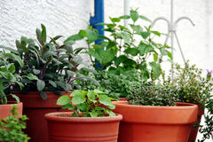 Group of herbs plant in the pot. Group of herbs plant in the ceramic pot on the balcony or terrace, salvia officinalis, mentha (pepermint), savory and balm-mint royalty free stock image