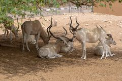 A group or herd of critically endangered Addax Addax nasomaculatus aka screwhorn or white antelope. A group or herd of critically endangered Addax Addax royalty free stock images
