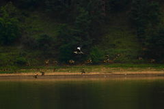 A group of heron flying above water Stock Images
