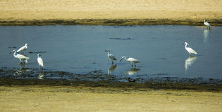 Group of Herons-c Royalty Free Stock Image