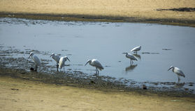 Group of Herons Royalty Free Stock Image