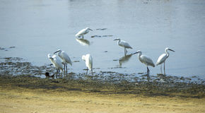 Group of Herons-a Stock Image