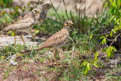 Group of Heuglin's (Three-banded) Coursers Stock Photo