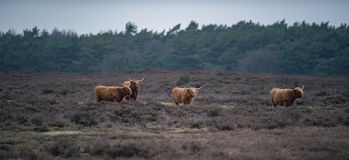 Group of highland cattle in heather landscape in winter. Group of highland cattle in a heather landscape in winter Royalty Free Stock Images