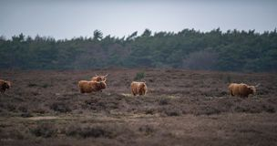 Group of highland cattle in heather landscape in winter. Group of highland cattle in a heather landscape in winter Royalty Free Stock Photos