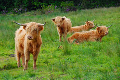 Group of Highland cows. Some Highland cattle in a field on the Isle of Arran Royalty Free Stock Photography