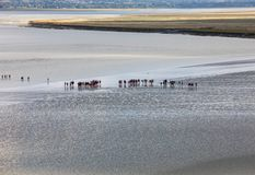 Group of hikers in the bay at low tide. Hike in the bay with a knowledgeable guide. Mont Saint-Michel , Normandy,. Le Mont-Saint-Michel, France - September 13 stock photo