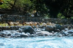 A group of Himalayan big-horned sheep goat on the lakeside of BEAS river. View of domestic herd of animal from agriculture farm of royalty free stock image