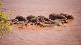 Group of hippo Hippopotamus amphibius bathing in red Galana ri royalty free stock photography