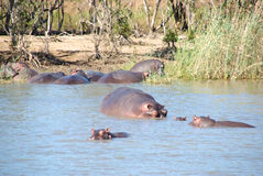 Group of hippos Stock Photos
