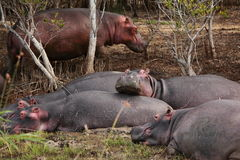 Group of hippos Royalty Free Stock Image