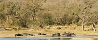 Group of hippos Royalty Free Stock Photo