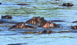 Group of hippos. Group of hippopotamuses swimming in shallow water of  the Masai Mara Reserve (Kenya Stock Images