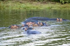 Group of hippos relaxing in water in the Greater St. Lucia Wetland Park World Heritage Site, St. Lucia, South Africa Stock Images