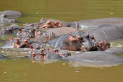 Group of hippos in river Royalty Free Stock Image