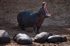 Group of hippos on the river beach Stock Images