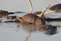 A group of Hippos in the water. By some branches with one of them standing over a branch, out of the water royalty free stock photo