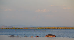 Group of hippos in the water at sunset Stock Photography
