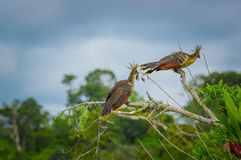 Group of hoatzins, episthocomus hoazin, endemic bird sitting on a branch inside the amazon rainforest in Cuyabeno Royalty Free Stock Image