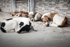 Group of homeless dogs sleeping on the street Stock Image