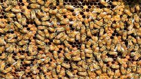 Group of Honey Bees stock video