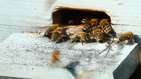 Group of honeybees stock footage