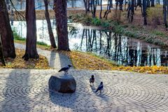 Group of Hooded crows on the stone royalty free stock image